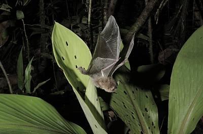 Kerivoula Photograph - Hardwickes Woolly Bat Sequence by Fletcher & Baylis