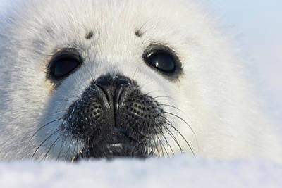 Madeleine Photograph - Harp Seal Pup, Close Up, Iles De La by Keren Su