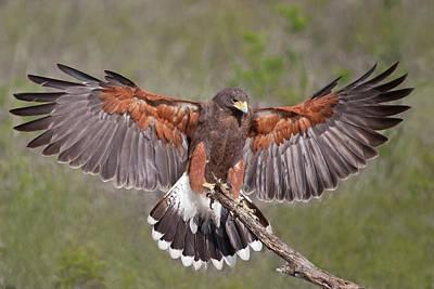 Starr Photograph - Harris's Hawk (parabuteo Unicinctus by Larry Ditto