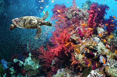 Photograph - Hawksbill Turtle by Georgette Douwma