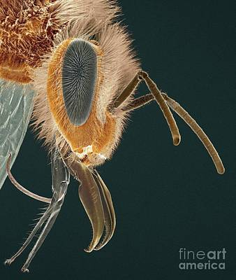 Photograph - Head Of A Honey Bee Sem by Thomas Deerinck NCMIR