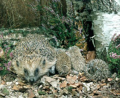 Forest Floor Photograph - Hedgehog With Young by Hans Reinhard