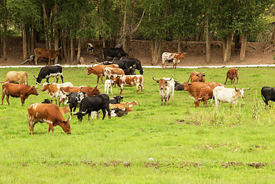 Texas Longhorns Photograph - Herd Of Texas Longhorn Cattle In Green by Piperanne Worcester