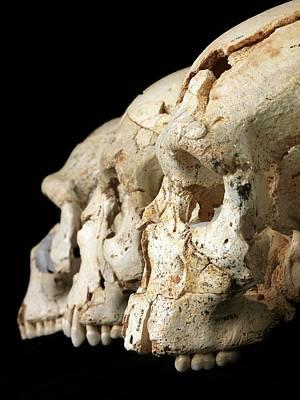 Early Human Photograph - Hominin Skulls From Sima De Los Huesos by Javier Trueba/msf
