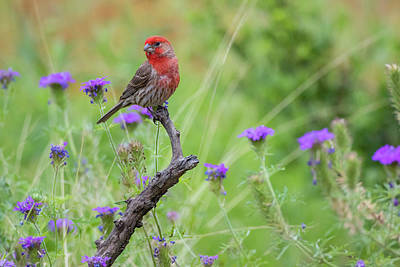 House Finch Photograph - House Finch (carpodacus Mexicanus by Larry Ditto