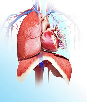 Human Heart Photograph - Human Heart And Lungs by Pixologicstudio