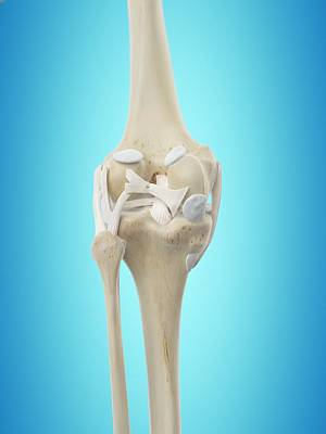Human Knee Tendons Art Print by Sciepro