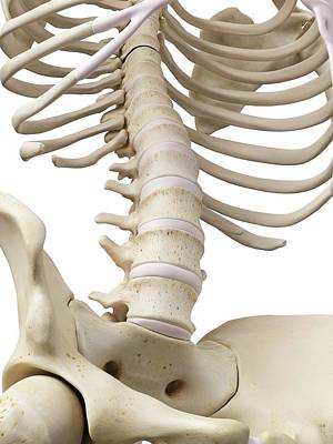 Human Spine Photograph - Human Lumbar Spine by Sciepro