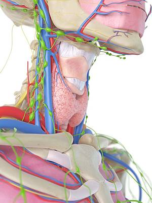 Human Internal Organ Photograph - Human Neck And Throat by Sciepro