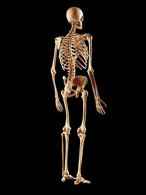 Biomedical Illustration Photograph - Human Skeletal System by Sciepro