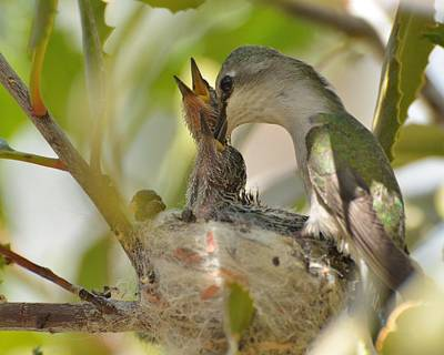 Photograph - Hummingbird Babies by Old Pueblo Photography
