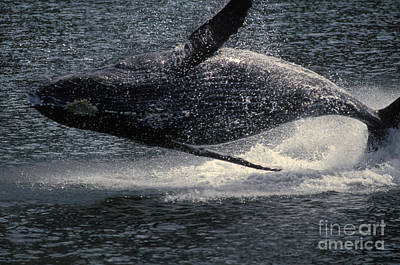 Humpback Whale Breaching Art Print by Ron Sanford