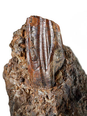 Mantell Photograph - Iguanodon Tooth by Natural History Museum, London