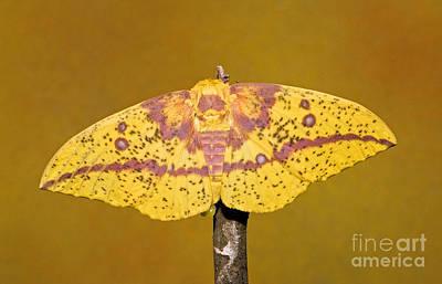 Imperial Moth Art Print by Millard H. Sharp