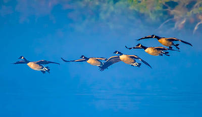 Incoming Geese Art Print by Brian Stevens
