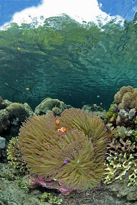 Clown Fish Photograph - Indian Ocean, Indonesia, Raja Ampat by Jaynes Gallery