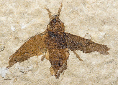 Photograph - Insect Fossil by Millard H. Sharp