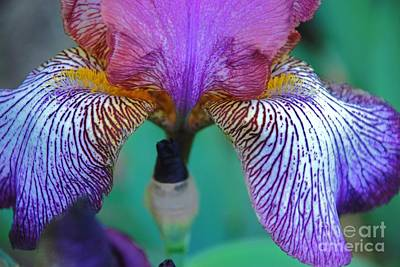 Photograph - Iris 2 by Allen Beatty