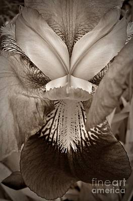 Photograph - Iris In Sepia by Chalet Roome-Rigdon