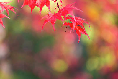 Japanese Maple Leaves Photograph - Japanese Maple In Autumn Color by Peter Adams