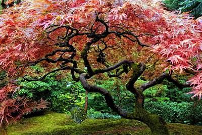 Photograph - Japanese Maple Tree by Jane Girardot
