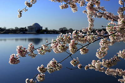 Photograph - Jefferson Memorial And Dc Cherry Blossom Festival by Willie Harper