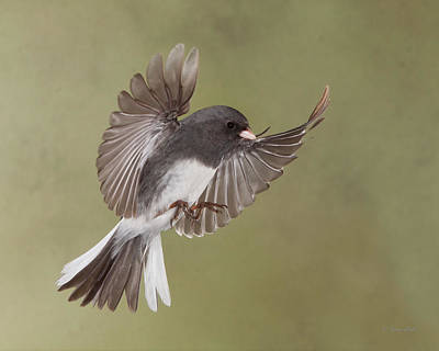 Photograph - Jimmy Junco by Gerry Sibell