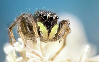 Spider Photograph - Jumping Spider by Nicolas Reusens