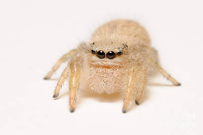 Photograph - Jumping Spider by Scott Linstead