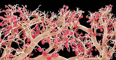 Resin Photograph - Kidney Blood Vessels by Susumu Nishinaga