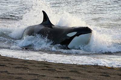 Valdes Photograph - Killer Whale, Patagonia by Francois Gohier