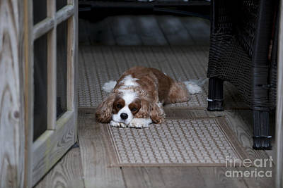 Photograph - Cavalier King Charles by Dale Powell
