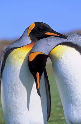 Endearing Photograph - King Penguin (aptenodytes Patagonica by Martin Zwick