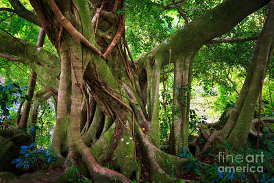 Tree Roots Photograph - Kipahulu Banyan Tree by Inge Johnsson