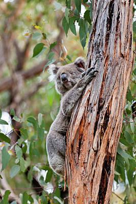 Koala (phascolarctos Cinereus Art Print