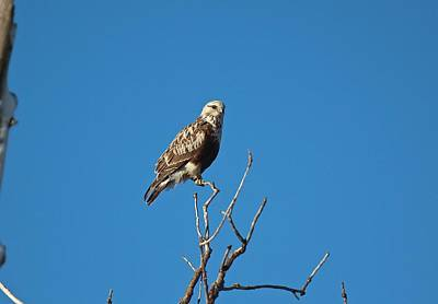Photograph - Krider's Red-tailed Hawk by John Dart