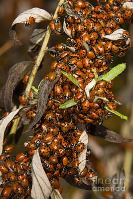 Lady Beetles Print by Ron Sanford