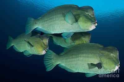 Large School Of Bumphead Parrotfish Art Print by Steve Jones