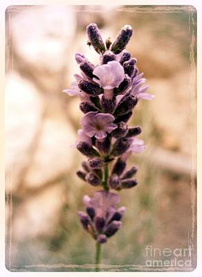 Photograph - Lavender 4 by Nina Ficur Feenan