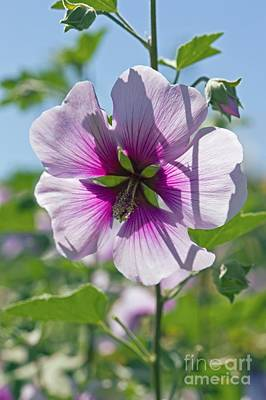 Lavatera Flowers Photograph - Lavatera Maritima by Dr. Keith Wheeler