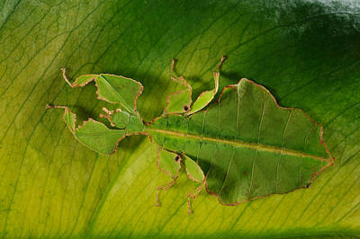 Photograph - Leaf Insect by Francesco Tomasinelli