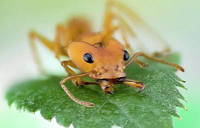 Leaf-cutter Ant Photograph - Leafcutter Ant by Nicolas Reusens