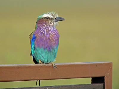 Animal Portraits - Lilac Breasted Roller by Tony Murtagh