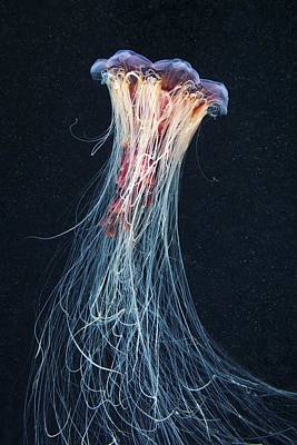 Cyanea Capillata Photograph - Lion's Mane Jellyfish by Science Photo Library
