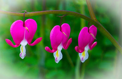 Bleeding Hearts Photograph - Bleeding Hearts by Martin Newman