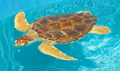 Us Fauna Photograph - Loggerhead Sea Turtle by Millard H. Sharp