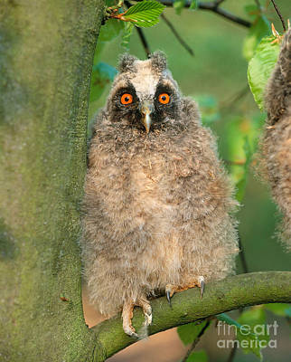 Photograph - Long Eared Owl by Hans Reinhard