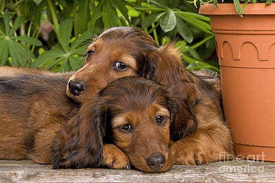 Best Friend Photograph - Long-haired Dachshunds by Jean-Michel Labat