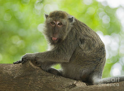 Photograph - Long-tailed Macaque by Dan Suzio