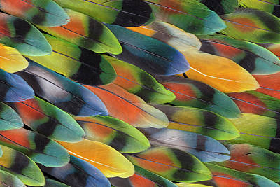 Lovebird Tail Feather Pattern And Design Art Print
